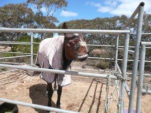 Horse dressed