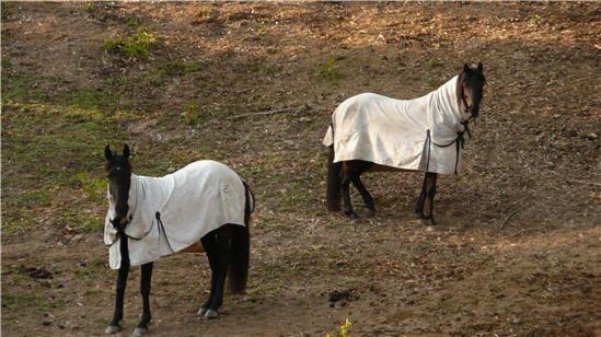 Horses dressed